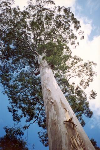 Eucalyptus deanei  (image)