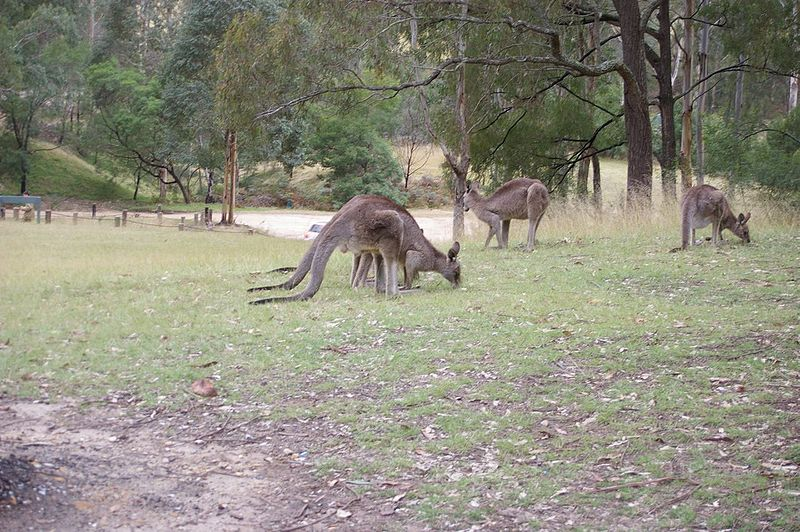 Kangaroos, Euroka, Blue Mountains National Park, Glenbrook NSW image
