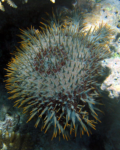 Crown of Thorns Starfish, Great Barrier Reef (image)