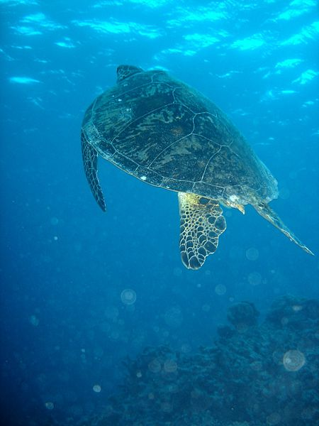 Green Sea Turtle on Great Barrier Reef (image)