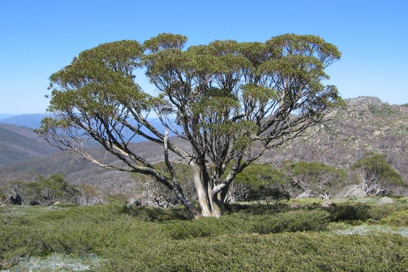 Snow Gum in Snowy Mountains, NSW (image)