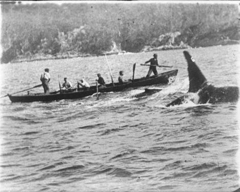 Old Tom, killer whale (image)